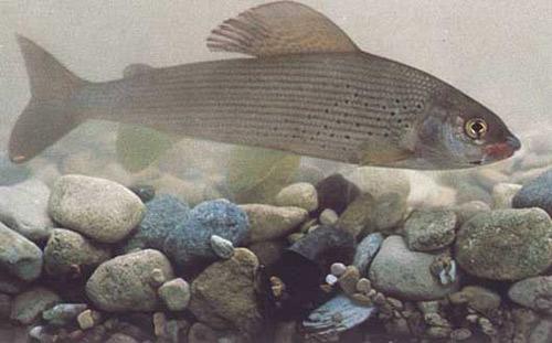 Хариус - рыбы Сибири