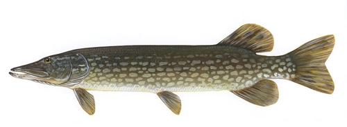 Щука esox lucius рыбы сибири