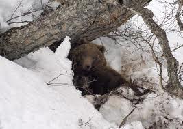 Встречи с бурым медведем